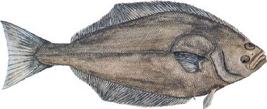 fish_atlantichalibut[1]