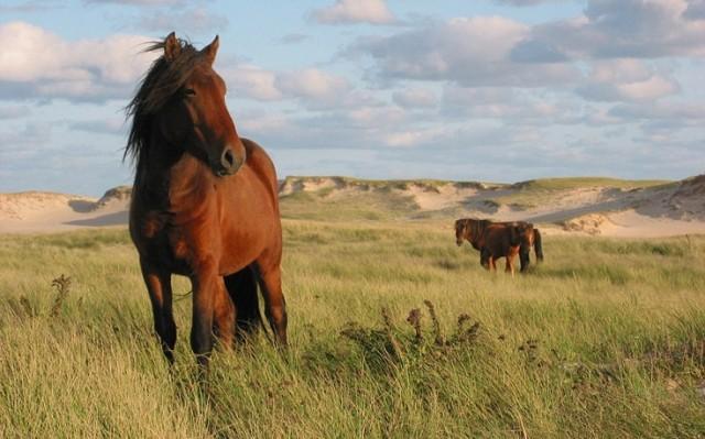 SableIsland-horses1[1]