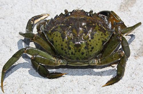 GreenCrab[1]