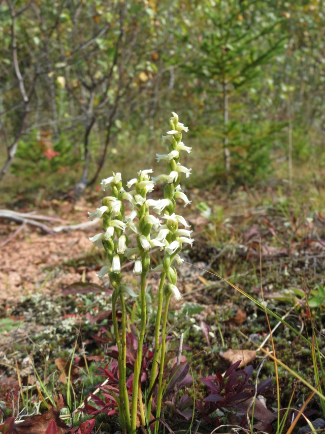 Lady's Tresses orchid RCurley