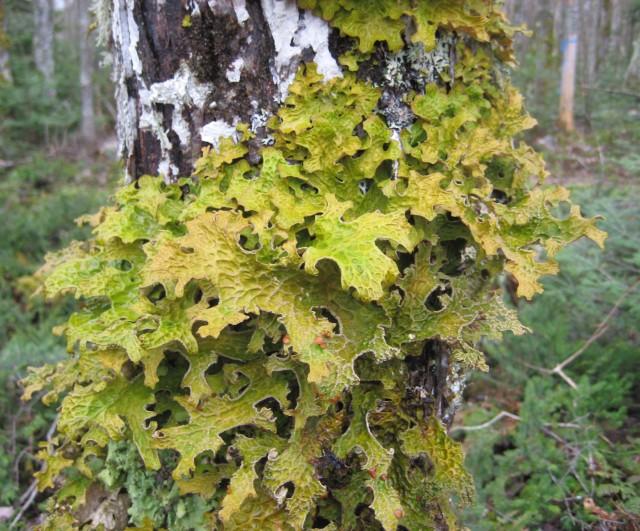 Lungwort (Lobaria pulmonaria)