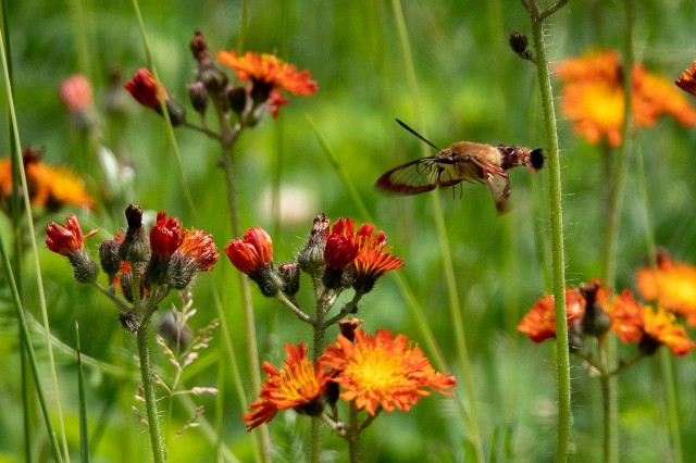 membersnightHummingbird Clearwing (Hemaris thysbe) (Large)