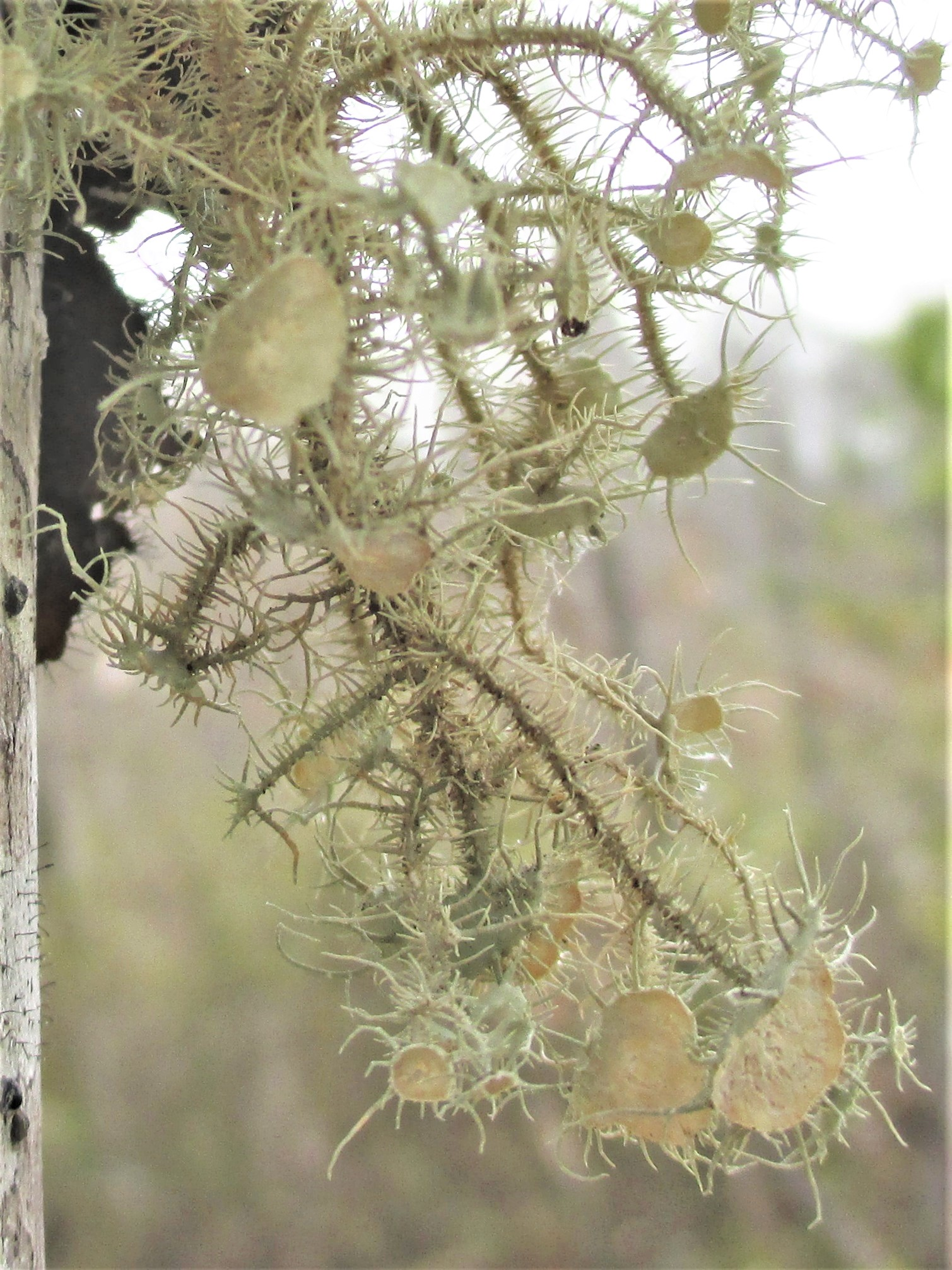 Bushy Beard Lichen (Usnea strigosa)